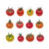 tomates cerise de couleur